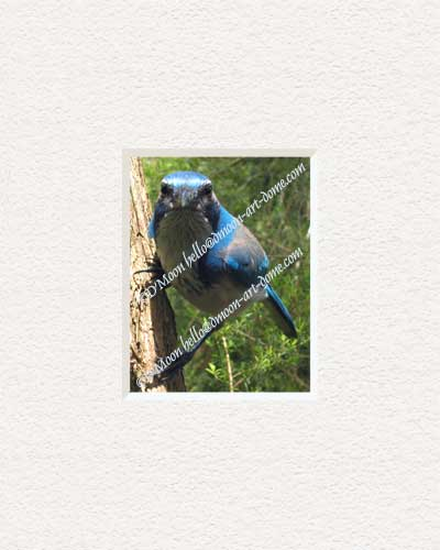 inquiring scrub jay